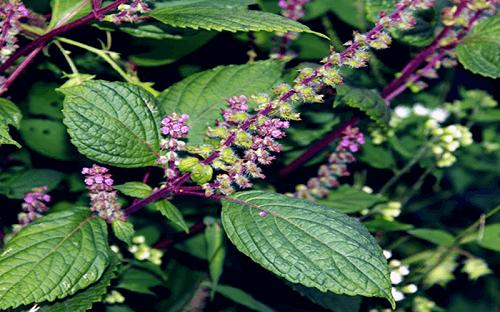 8 cây thuốc chữa bệnh trĩ tốt từ thiên nhiên bạn nên biết