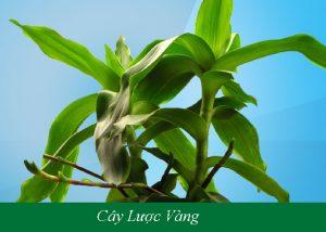 top-3-cach-chua-benh-tri-bang-cay-luoc-vang