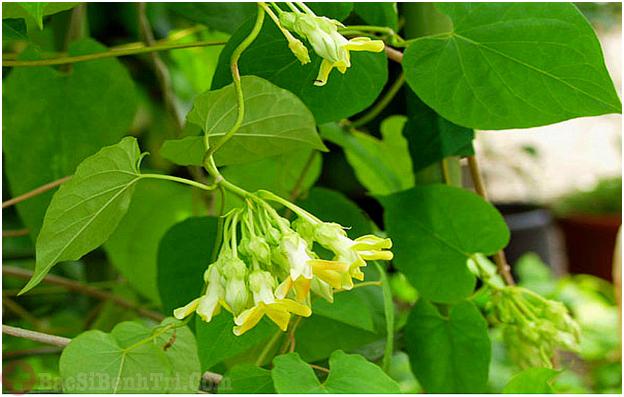 bài thuốc từ lá cây thiên lý chữa trĩ nội độ 1