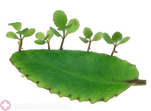bài thuốc từ lá cây bỏng chữa trĩ nội độ 1