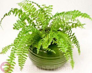 Thực hư cây dương xỉ chữa bệnh trĩ hiệu quả không ngờ